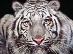 Za bílými tygry do Liberce