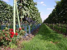 Rodinná vinařství Glosovi - kvalitní vína na nejvyšší úrovni