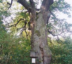 Panuškův dub u Kochánova