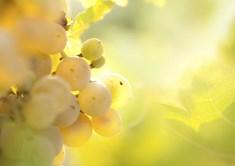 Svatováclavská vinice v Dřísech - nejstarší vinice v Čechách